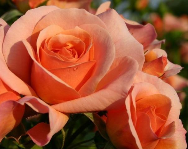 rose-kordes-aprikola