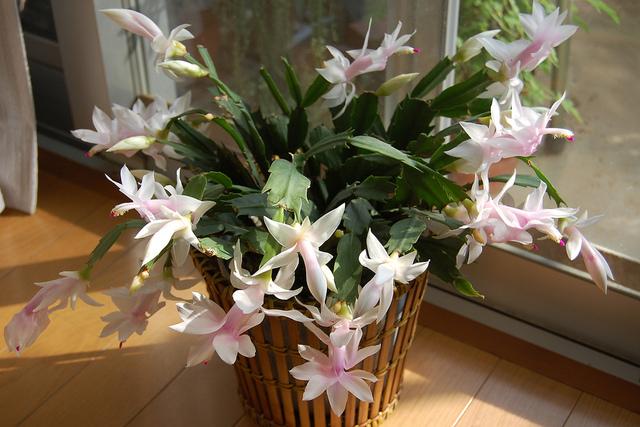 plante grasse zygocactus