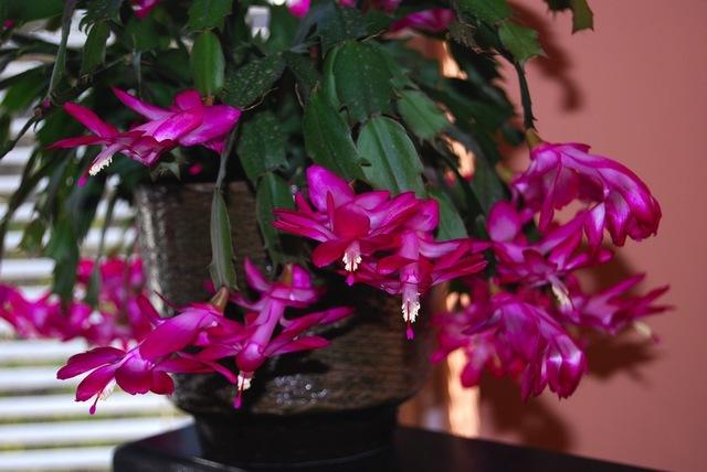 schlumbergera faites fleurir et multipliez le cactus de no l. Black Bedroom Furniture Sets. Home Design Ideas