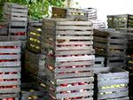 La conservation des pommes et des poires