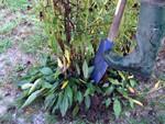 Diviser les plantes vivaces