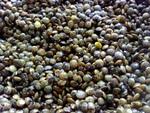La lentille : une petite graine bien faite