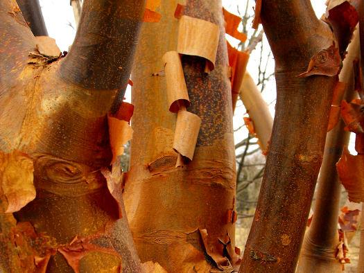 Ecorces et rameaux colorés (Ecorces décoratives)