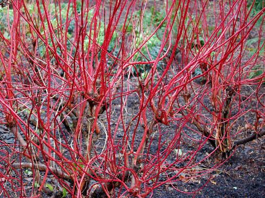 Des rameaux rouge sang (Ecorces décoratives)
