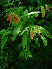 Cinnamomum verum - Feuilles