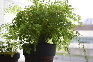 Soins pour les foug res for Fougere d interieur plante