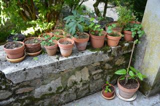 Futurs bonsaïs - Jeunes plants