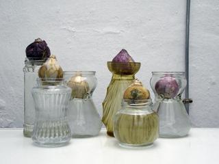 Bulbes de jacinthes sur vases de for�age