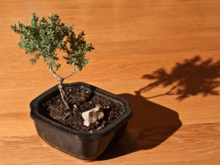 Jeune bonsaï - Juniperus