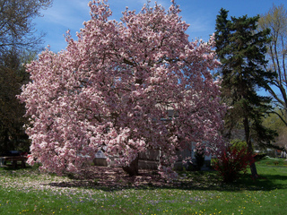 Magnolia en fleurs - Pelouse