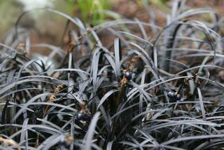 Plantes à feuillage noir ou foncé
