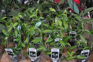 Orchidée vanille - Vanilla planifolia