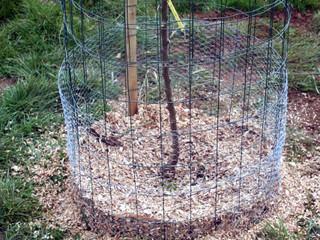 paillage et protection du jeune arbre