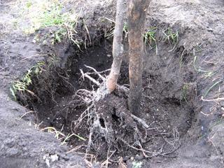 Plantation racines nues