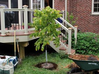 Plantation d'un arbre : quand ? où ? comment ?