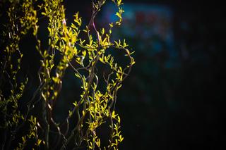 Salix x erythroflexuosa - Saule tortueux