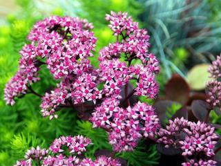 Sedum 'Cherry Tart' - fleurs