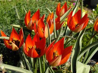 Tulipa whittallii - Tulipe botanique