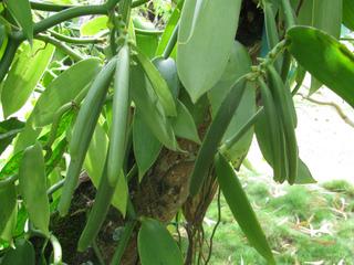 Vanilla planifolia - Gousses vertes