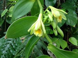 Vanille : de l'Orchidée à la Gousse