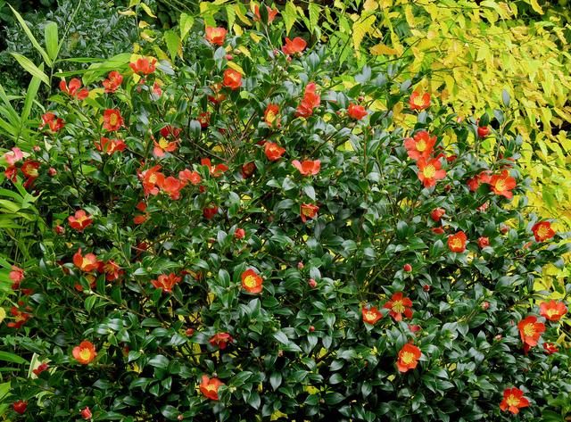 le camélia sasanqua : un camélia pour l'automne