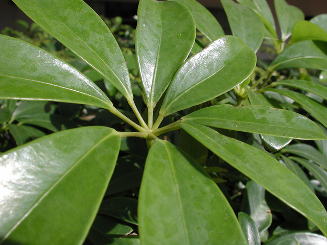 Schefflera une plante verte d 39 int rieur robuste et for Grande plante verte exterieur