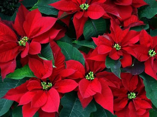 L'étoile de Noël (Noël : magie végétale)