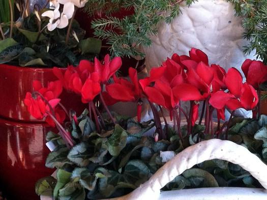 Le cyclamen (Noël : magie végétale)