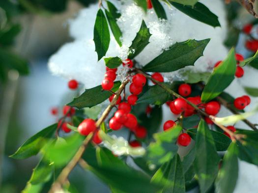 Le houx (Noël : magie végétale)