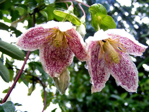 Les clématites à floraison hivernale (Noël : magie végétale)