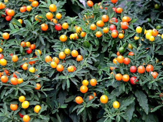 Cultiv tomates tout - Pommier d amour entretien ...