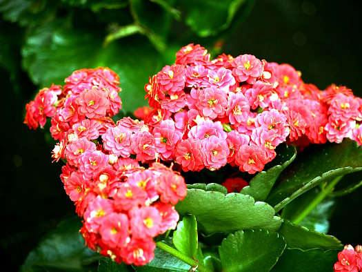 Un kalanchoe en fleurs pour Noël (Noël : magie végétale)