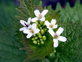 Cuisine des fleurs comestibles : alliaire
