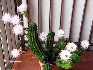Cactus - Floraison