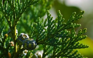 Chamaecyparis lawsoniana - Cônes