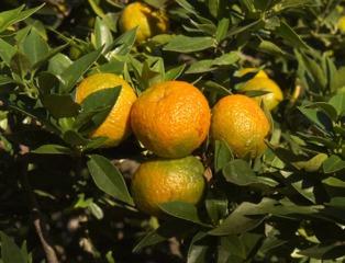 Citrus aurantium - Bigarade