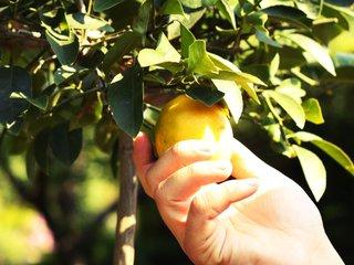 Cueillette d'un citron