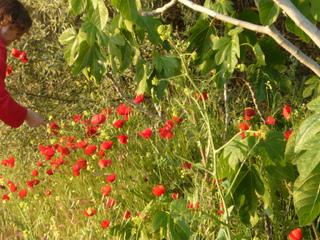Plantes sauvages comestibles : Cueillettes en Eté
