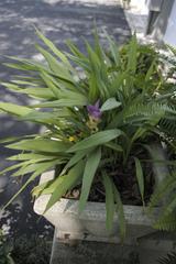 Curcuma alismatifolia en pot