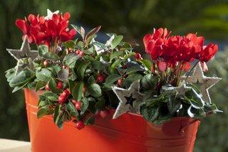 Jardinière cyclamen rouge et gaultheria