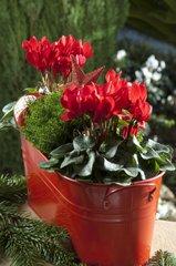 Jardinière cyclamen rouge hebe
