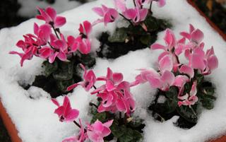 Cyclamen sous la neige