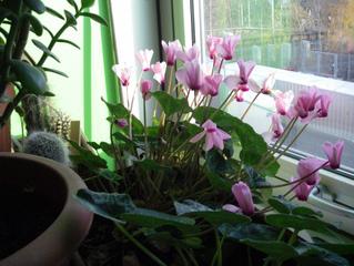 Entretien du cyclamen en hiver - Plantes qui ne craignent pas le gel ...