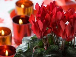 Cyclamen rouge et bougies
