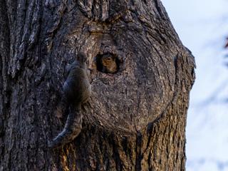 Ecureuils installés dans un trou d'arbre