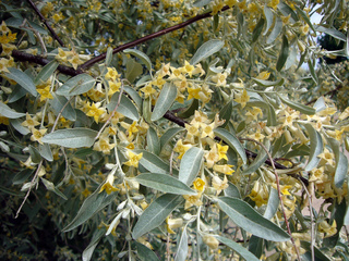 Olivier de Bohême, Elaeagnus angustifolia : culture et taille