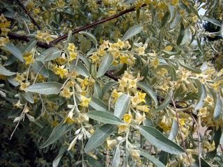 Elaeagnus angustifolia - Fleurs