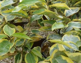 Eleagnus à feuillage panaché