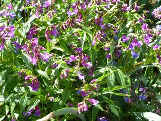 Lathyrus vernus - Gesse de printemps