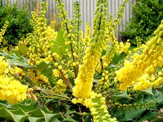 Mahonia, un bel arbuste parfumé persistant et fleuri en hiver